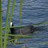 Australian coot. Adult with nesting material. Lake Rotoiti, December 2007. Image © Peter Reese by Peter Reese