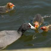 Australian coot. Adult feeding chicks. Lake Rotoiti, December 2012. Image © Peter Reese by Peter Reese