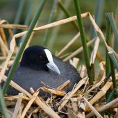 Australian coot. Adult sitting on nest. Hamilton Zoo, September 2009. Image © Neil Fitzgerald by Neil Fitzgerald www.neilfitzgeraldphoto.co.nz