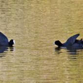 Australian coot. Territorial display. Whakatane, October 2011. Image © Raewyn Adams by Raewyn Adams