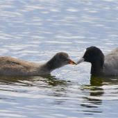 Australian coot. Adult feeding half-grown chick. Styx Mill Conservation Reserve,  Christchurch, November 2012. Image © Steve Attwood by Steve Attwood http://stevex2.wordpress.com/
