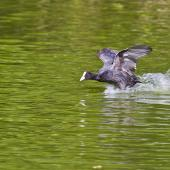 Australian coot. Nearly airborne. Whakatane, December 2012. Image © Raewyn Adams by Raewyn Adams