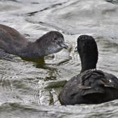 Australian coot. Juvenile being fed by adult. Lake Okareka, February 2012. Image © Raewyn Adams by Raewyn Adams