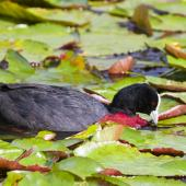 Australian coot. Adult feeding among waterlilies. Whakatane, February 2012. Image © Raewyn Adams by Raewyn Adams