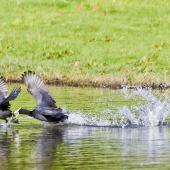 Australian coot. Wings outstretched chasing across water. Whakatane, October 2011. Image © Raewyn Adams by Raewyn Adams