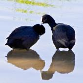 Australian coot. Courtship - mutual preening.. Whakatane, October 2011. Image © Raewyn Adams by Raewyn Adams