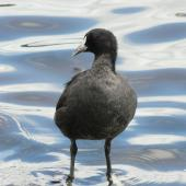 Australian coot. Immature standing in water. Lake Rotoroa, Hamilton, January 2012. Image © Alan Tennyson by Alan Tennyson