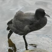 Australian coot. Immature stretching. Lake Rotoroa, Hamilton, January 2012. Image © Alan Tennyson by Alan Tennyson