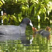 Australian coot. Adult feeding chicks. Christchurch, October 2012. Image © Steve Attwood by Steve Attwood http://stevex2.wordpress.com/