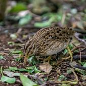 Chatham Island snipe. Adult feeding. Rangatira Island, November 2013. Image © Leon Berard by Leon Berard
