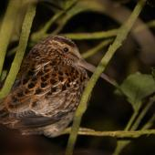 Chatham Island snipe. Adult in tree. Rangatira Island, September 2016. Image © Oscar Thomas by Oscar Thomas https://www.flickr.com/photos/kokakola11/