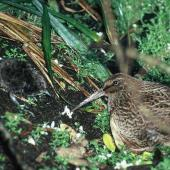 Snares Island snipe. Adult and chick. North East Island, Snares Islands, January 1985. Image © Colin Miskelly by Colin Miskelly