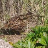 Subantarctic snipe. Adult Auckland Island snipe. Rose Island, Auckland Islands, January 2018. Image © Colin Miskelly by Colin Miskelly