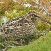 Subantarctic snipe. Auckland Island snipe, adult. Enderby Island, Auckland Islands, January 2018. Image © Alan Tennyson by Alan Tennyson