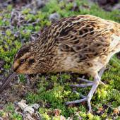 Subantarctic snipe. Adult Antipodes Island snipe feeding. Antipodes Island, April 2010. Image © Mark Fraser by Mark Fraser