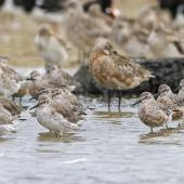 Lesser knot. Mixed flock with bar-tailed godwits - both species developing breeding plumage. Mangere inlet near Ambury Regional Park, February 2014. Image © Bruce Buckman by Bruce Buckman https://www.flickr.com/photos/brunonz/