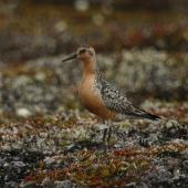 Lesser knot. Adult on breeding grounds - the white flag shows that this bird was originally caught and banded in New Zealand (on the Manukau Harbour, more than 11,000 km away). Bering Sea coast near Meinypilgyno, Chukotka. Image © Sergey Golubev by Sergey Golubev
