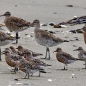 Lesser knot. Adult birds in breeding plumage in front of larger bar-tailed godwits. Motueka Sandspit, February 2012. Image © Rebecca Bowater FPSNZ by Rebecca Bowater  FPSNZ Courtesy of Rebecca Bowater FPSNZwww.floraandfauna.co.nz
