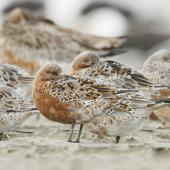 Lesser knot. Flock moulting into breeding plumage. The centre bird is likely the subspecies piersmai. Manawatu River estuary, March 2012. Image © Phil Battley by Phil Battley