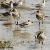 Great knot. Non-breeding adult among bar-tailed godwits. Cairns foreshore, Queensland. Image © Dick Jenkin by Dick Jenkin  www.jenkinphotography.com.au