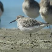 Great knot. Non-breeding plumage. Little Waihi estuary, April 2013. Image © Tim Barnard by Tim Barnard
