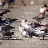 Great knot. Non-breeding adult among lesser knots and bar-tailed godwits. Manawatu River estuary, November 2003. Image © Alex Scott by Alex Scott