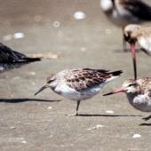 Great knot. Non-breeding adult with bar-tailed godwits. Manawatu River estuary, November 2003. Image © Alex Scott by Alex Scott