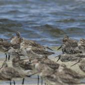 Great knot. Adults roosting with bar-tailed godwits. Toorbul, Queensland, January 2018. Image © Oscar Thomas by Oscar Thomas