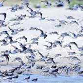 Sanderling. Flock landing. Baie de Somme, France, August 2017. Image © Cyril Vathelet by Cyril Vathelet