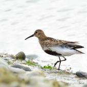 Dunlin. Adult in breeding plumage (European subspecies). Baie de Somme, France, July 2016. Image © Cyril Vathelet by Cyril Vathelet
