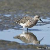 Curlew sandpiper. Reflection. Miranda, July 2012. Image © John Woods by John Woods