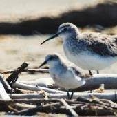 Curlew sandpiper. Nonbreeding adult (red-necked stint in foreground). Manawatu River estuary, December 1999. Image © Alex Scott by Alex Scott