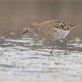 Sharp-tailed sandpiper. Adult in breeding plumage, wading. Lake Ellesmere, February 2014. Image © Steve Attwood by Steve Attwood   http://www.flickr.com/photos/stevex2/