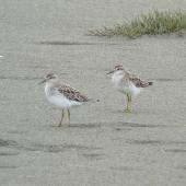 Sharp-tailed sandpiper. Two adults in non-breeding plumage walking on beach. Manawatu River estuary, December 2012. Image © Alan Tennyson by Alan Tennyson