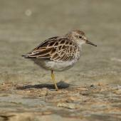 Sharp-tailed sandpiper. Non-breeding adult. Foxton estuary, February 2016. Image © Imogen Warren by Imogen Warren