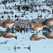 Sharp-tailed sandpiper. Non-breeding birds feeding. Miranda, March 2012. Image © Ray Buckmaster by Ray Buckmaster