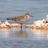 Baird's sandpiper. Non-breeding adult. Lake Walyungup, Western Australia, March 2019. Image © Chris Young 2019 birdlifephotography.org.au by Chris Young