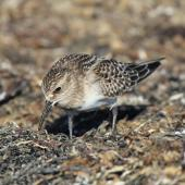 Baird's sandpiper. Adult. Pillar Point Harbor, California, August 2012. Image © Jason Crotty by Jason Crotty via Flickr, 2.0 Generic (CC BY 2.0)