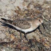 Baird's sandpiper. Adult. Pillar Point Harbor, August 2012. Image © Jason Crotty by Jason Crotty via Flickr, 2.0 Generic (CC BY 2.0)