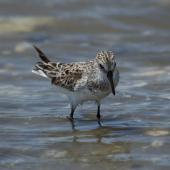 White-rumped sandpiper. Immature in worn plumage. Chincoteague Island, Virginia, USA, May 2015. Image © Roger Smith by Roger Smith