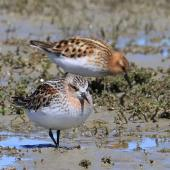 Little stint. Adult in breeding plumage (rear) with red-necked stint (front). Embankment Road Lake Ellesmere, November 2019. Image © Steve Attwood by Steve Attwood © Steve Attwood