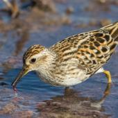 Long-toed stint. Adult in breeding plumage foraging. Tolderol Game Reserve, April 2019. Image © David Newell 2019 birdlifephotography.org.au by David Newell