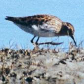 Long-toed stint. Adult in breeding plumage (1st New Zealand record). Lake Ellesmere, September 1997. Image © Colin Hill by Colin Hill