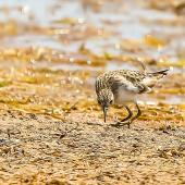 Long-toed stint. Adult non-breeding. Lake Argyle,  WA, September 2013. Image © Dick Jenkin by Dick Jenkin   www.jenkinphotography.com.au