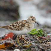Least sandpiper. Juvenile. Pillar Point Harbor, California, September 2012. Image © Jason Crotty by Jason Crotty via Flickr, 2.0 Generic (CC BY 2.0)