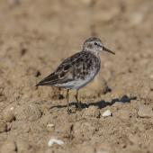 Least sandpiper. Non-breeding adult. Quivira National Wildlife Refuge, Kansas, USA, August 2014. Image © David A. Rintoul by David A. Rintoul