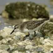Semipalmated sandpiper. Juvenile showing palmations. Florida,  USA, September 2005. Image © Richard Chandler by Richard Chandler