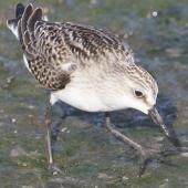 Semipalmated sandpiper. Juvenile, showing the semipalmated toes. Manhattan,  Kansas, USA, August 2014. Image © David Rintoul by David Rintoul