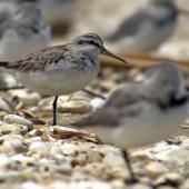 Broad-billed sandpiper. Juvenile roosting with wrybills. Manukau Harbour, December 2015. Image © Oscar Thomas by Oscar Thomas