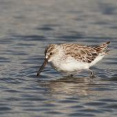 Broad-billed sandpiper. Non-breeding adult. Western Treatment Plant, Werribee, Victoria, Australia, March 2012. Image © Sonja Ross by Sonja Ross